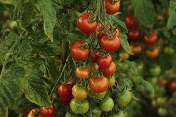 Programul Tomata nu mai rodește. Fermierii primesc subvenții cu o treime mai mici, care abia acoperă cheltuielile:  Nu mai cultivăm roșii pentru că muncim degeaba