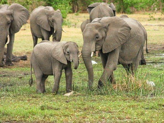 Botswana alege între turism și agricultură. Supa-populația de elefanți, principala atracție a străinilor, alungată din țară, pentru că animalele distrug culturile