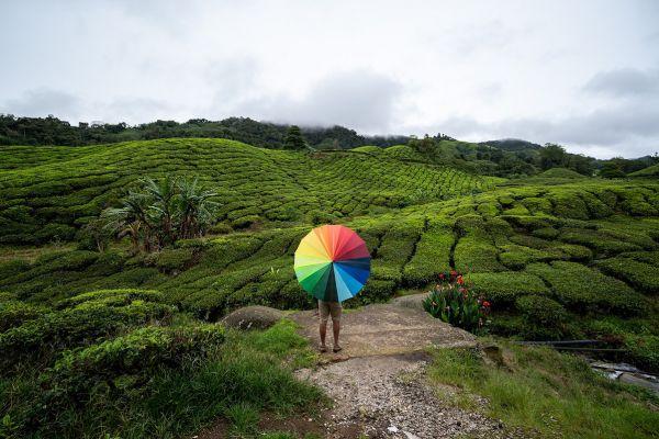 Un bărbat se plimbă cu o umbrelă printr-un camp de ceai din Brinchang, Malaysia. Foto: MOHD RASFAN/AFP/Getty Images/Guliver