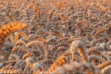 Rusia va deveni cel mai mare exportator mondial de grâu, după ce seceta severă a afectat producția în UE, inclusiv România