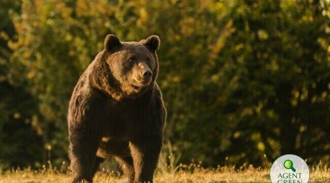 Cum s-au aflat detaliile despre uciderea ursului Arthur? Povestea anchetei jurnalistice
